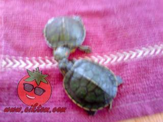 kura-kura diego dan dora 8