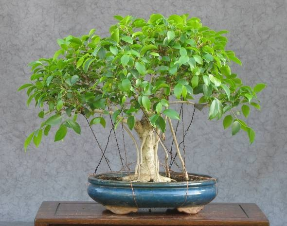 Ficus Nitida Pflege Martins Bonsai -blog: Ficus Bonsai (microcarpa) Teil 1