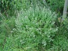 Herbs Treat And Taste Catnip Or Cat Mint How To Use