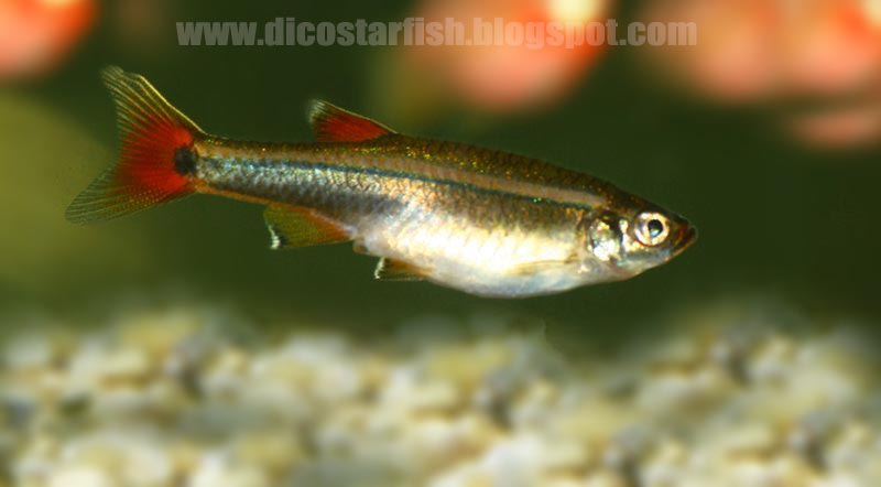 Dicostarfish - Gallery Ikan Hias Air Tawar: Zebra Hongkong ...