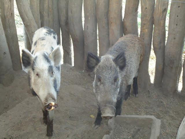 cerdos jabalíes en La Pampa