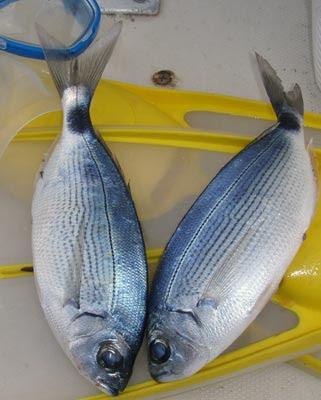 occhiate pescate