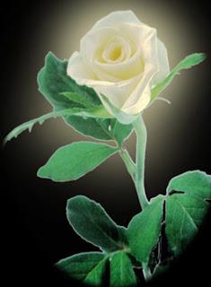 Resultado de imagen para rosa blanca con tallo