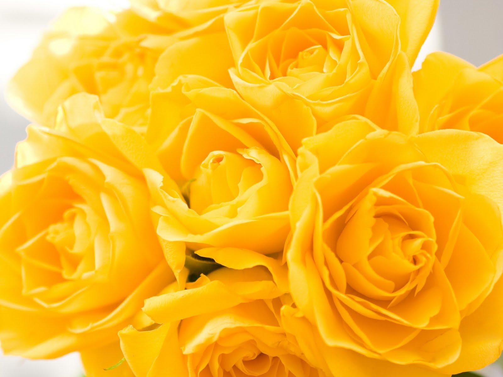Flores del mundo bellas rosas - Rose flower images full size hd ...
