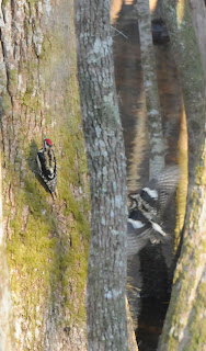 Yellow-bellied Sapsucker at Audubon's Francis Beidler Forest by Mark Musselman