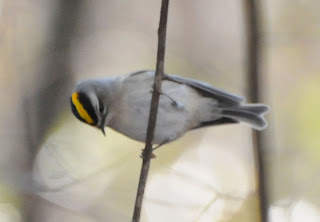 Golden-crowned Kinglet at Audubon's Francis Beidler Forest by Mark Musselman