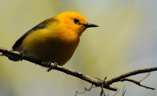 Prothonotary Warbler at Audubon's Francis Beidler Forest by Mark Musselman