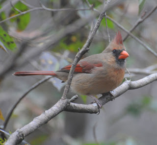 Female Northern Cardinal at Audubon's Francis Beidler Forest by Mark Musselman