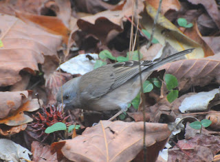 Dark-eyed Junco at Audubon's Francis Beidler Forest by Mark Musselman