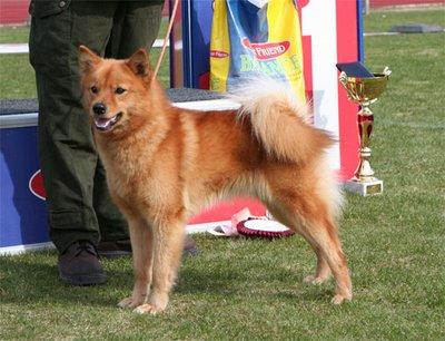 40 Best Medium-Sized Dogs   Rare dog breeds, Best medium ...  Finnish Spitz Lab Mix