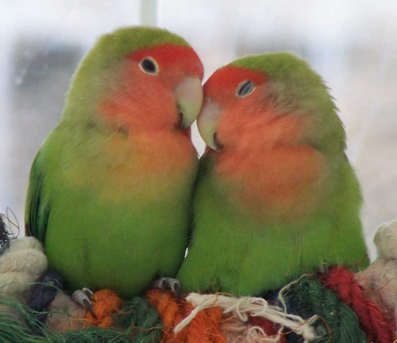 Cute Cockatiel Wallpaper Tollyupdate Love Birds