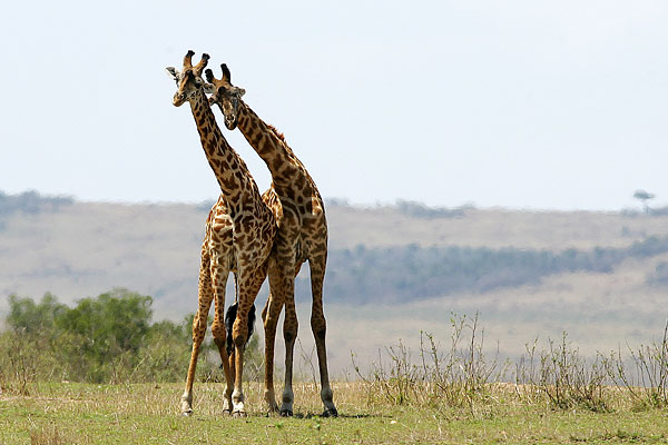 [animals_in_love_giraffes.jpg]