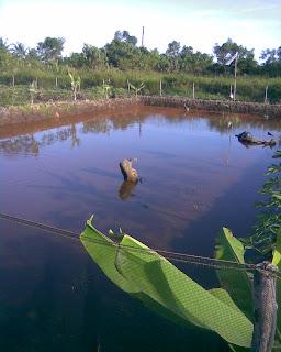 Gallery kelinjau: Foto Tambak Ikan, Budidaya Ikan Nila ...
