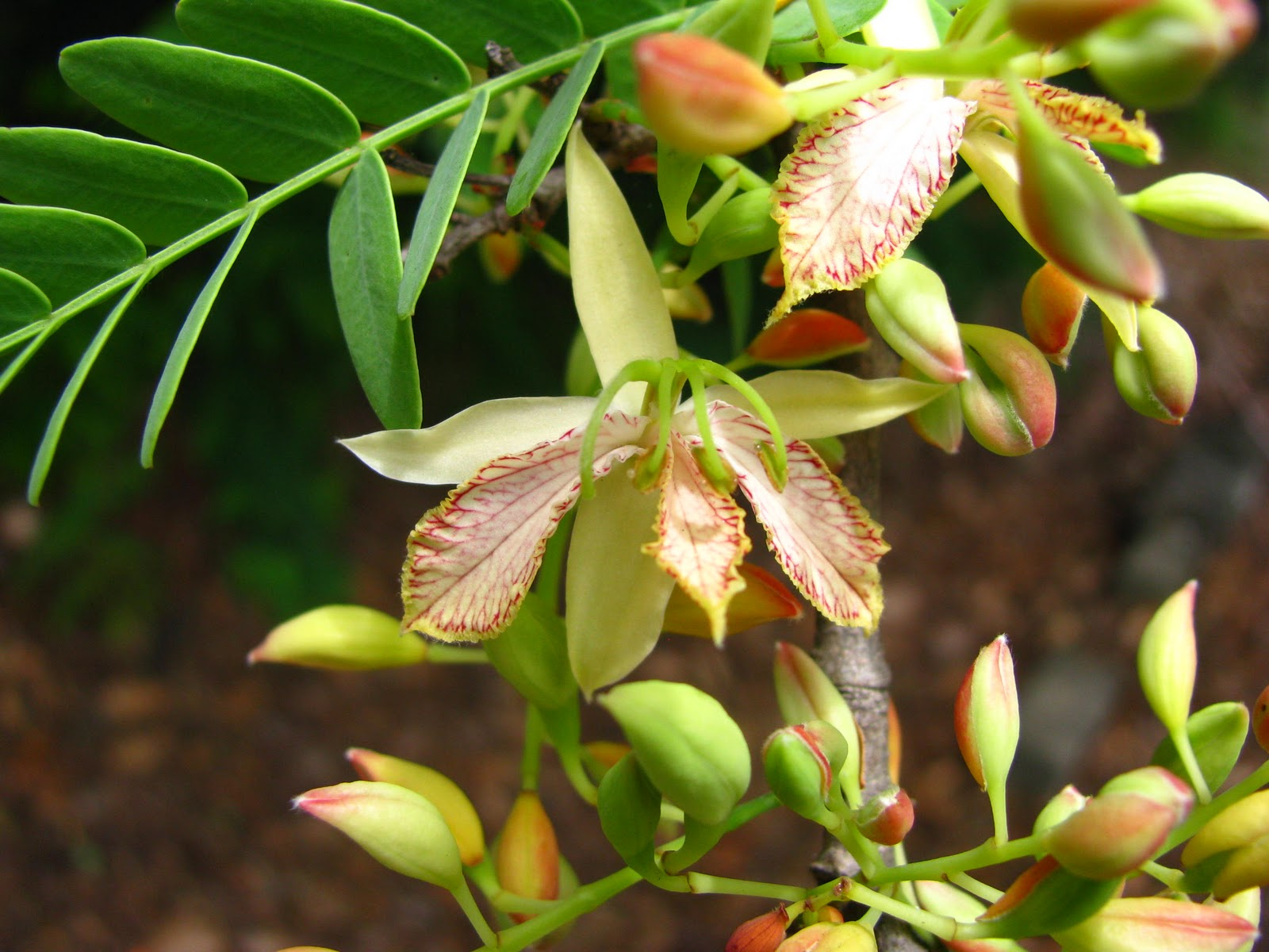 Travels with Lil': Bunya Cones and Tamarind Flowers