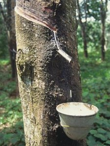 Investing in Tropical Trees: Making Money with Rubber Trees