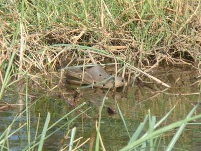 Croc found near South Saskatchewan river !!!