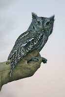 Western screech owl. ©2008 Chris W. Johnson