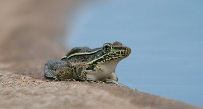 One of those Rio Grande Leopard Frogs from a previous visit to the windmill