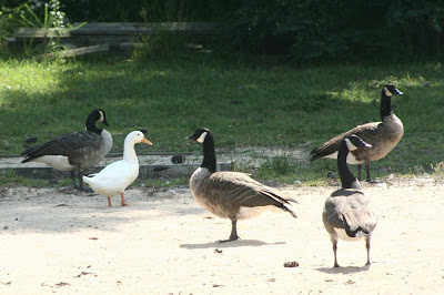 Canada geese and white duck