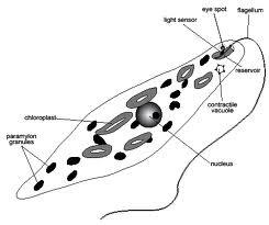 Diagram Of Protist