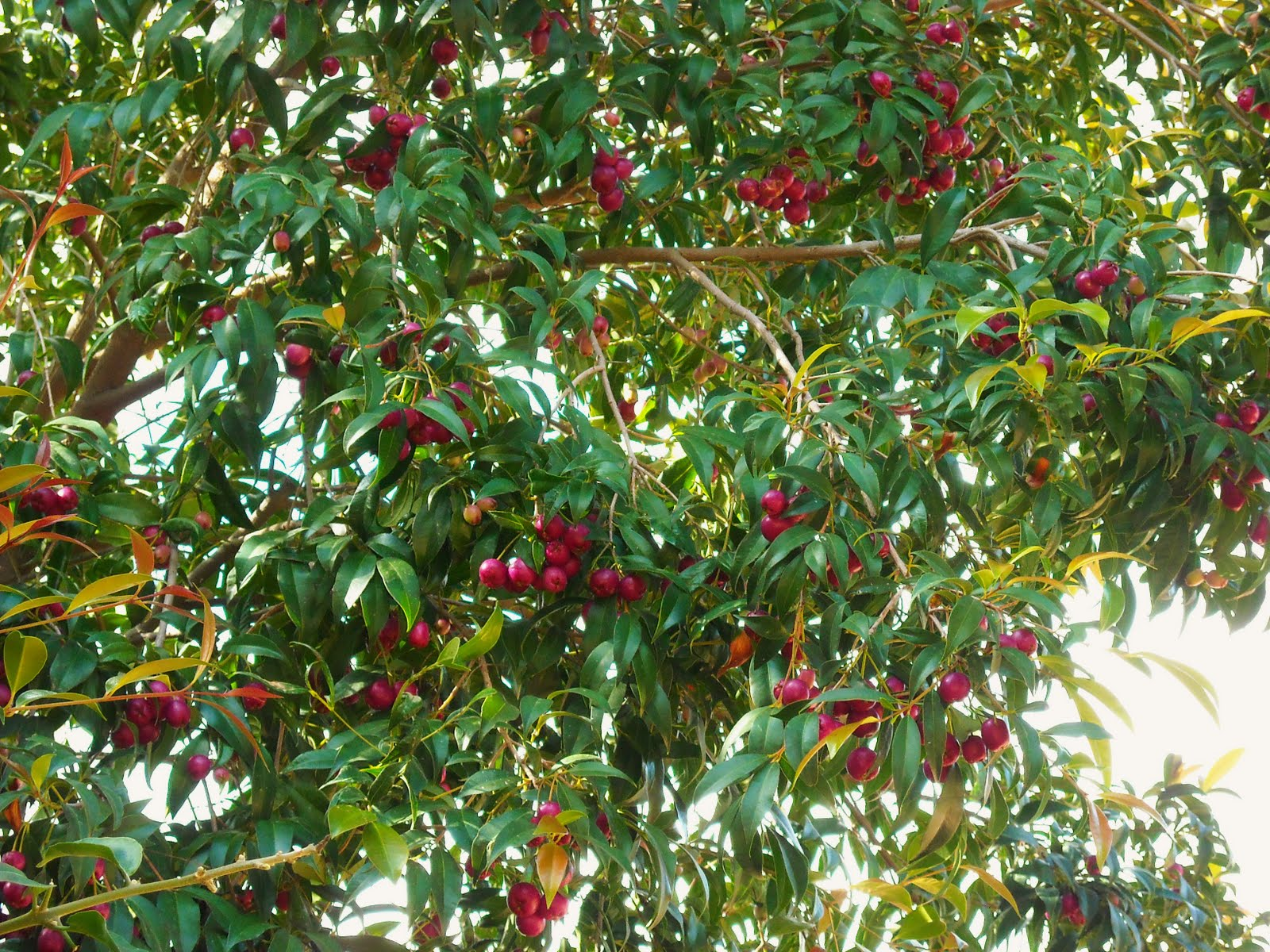 Eugenia myrtifolia questa sconosciuta furighedda gardening for Piante sempreverdi