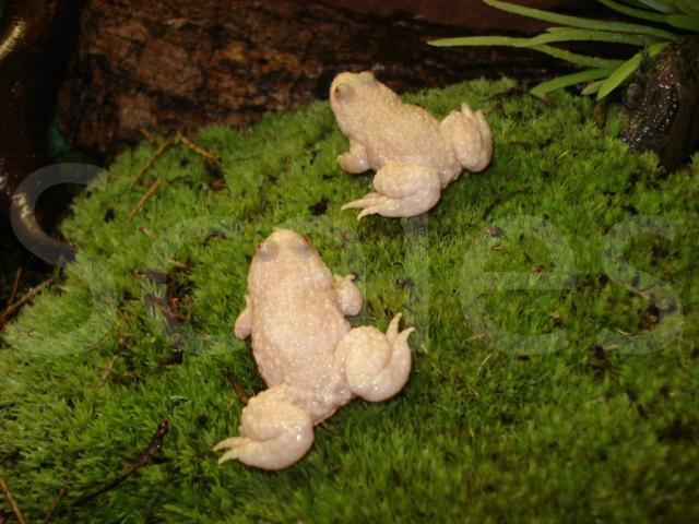 Animales albinos :Rana