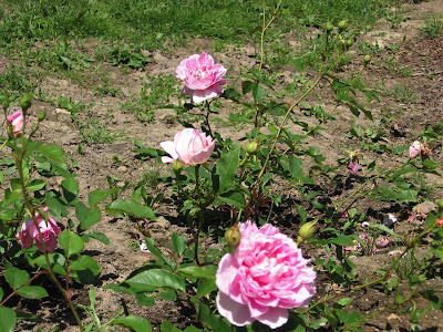 David Austin Rose The Ingenious Mr Fairchild Pink