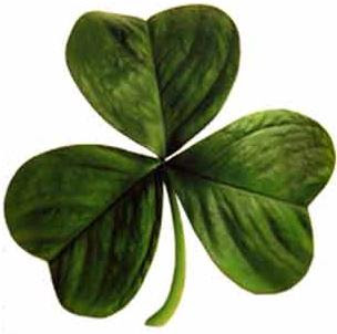 Shamrock or Irish Clover