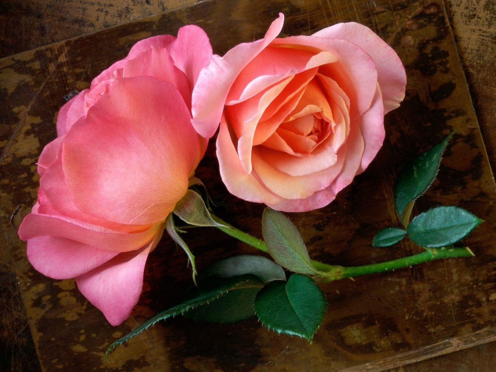 Beautiful rose flowers pictures hd wallpaper - Beautiful rose wallpaper ...