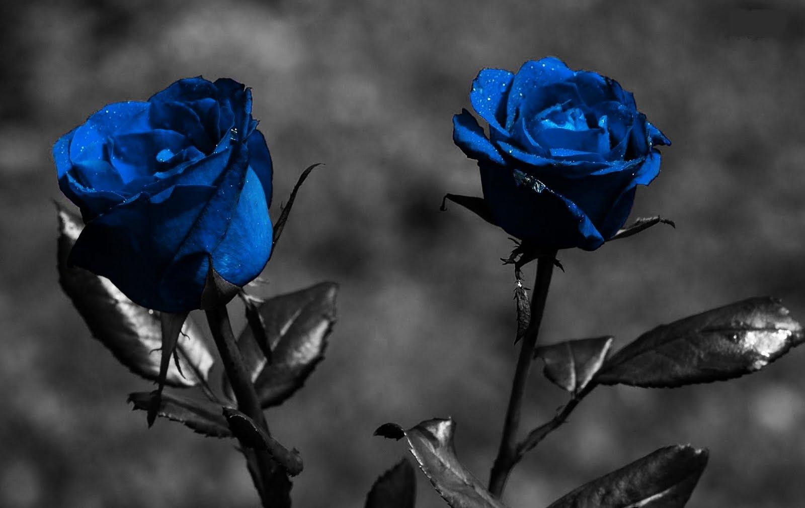 Dark Blue And White Flowers: Imagenes De Rosas Azules