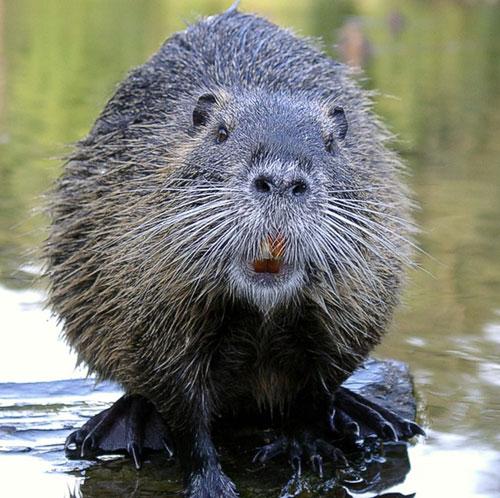Wet Hairy Beavers