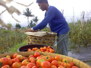 rusli,+ +Tomat Meraih Untung dari Panen Tomat di Padangsidimpuan