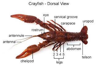 I I I Dissection Crayfish
