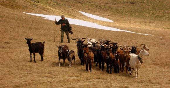 cabras pirineo