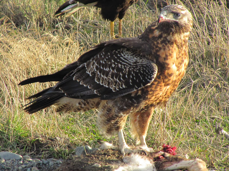 Aguila coronado reproduccion asexual