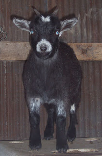 Goats For Sale Blue Eyed Nigerian Dwarfs
