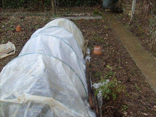 ma plan te jardin des pommes de terre primeurs en mai. Black Bedroom Furniture Sets. Home Design Ideas