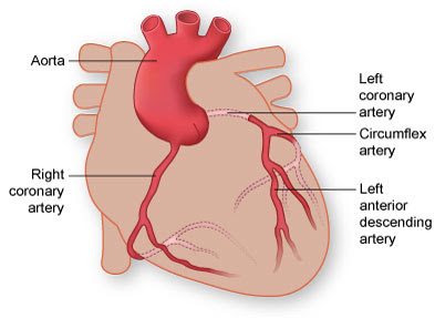 a Labelled Diagram of the Human Heart : The Coronary