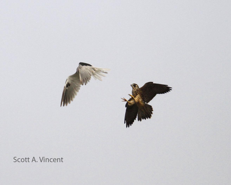 Peregrine Falcon Attacking Pelicans