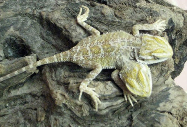 cicak kubing (bearded dragon) kembar siam