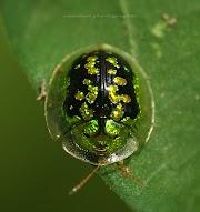 Koleksi Pilihan gambar Kumbang