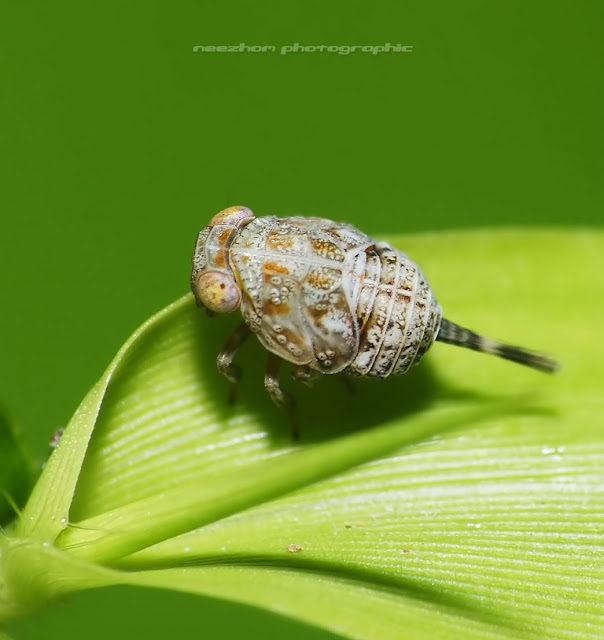 Planthopper with brown patterns