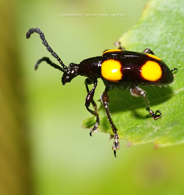 Black Beetle with yellow dots