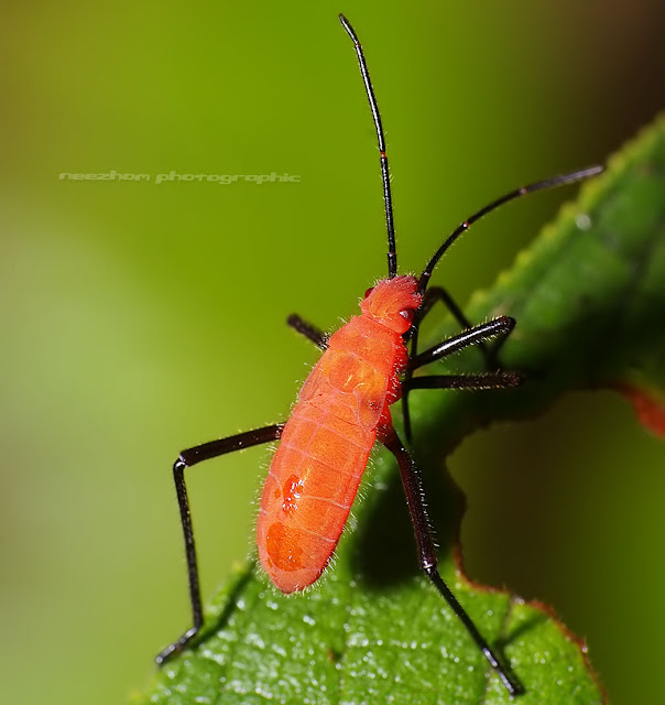 Red Shield bug