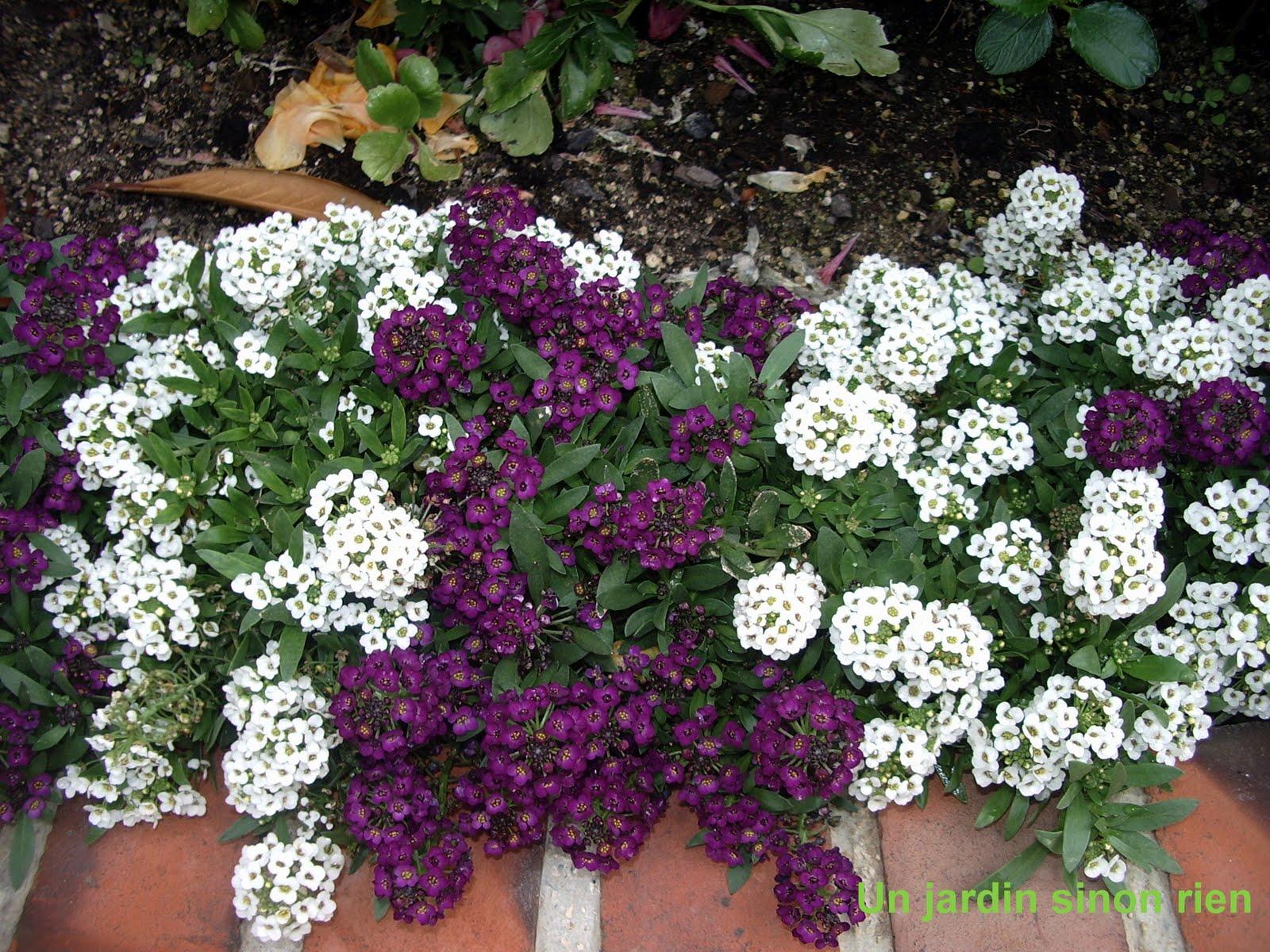 Un Jardin Sinon Rien Corbeille D Argent Et Pavot De Californie