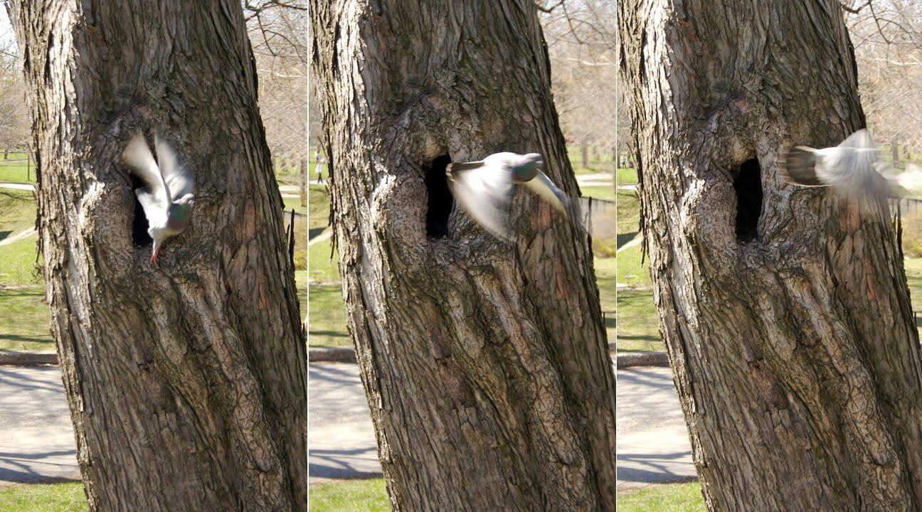 Flora urbana rapport de l inspecteur des bourgeons 4 - Faire fuir les pigeons ...
