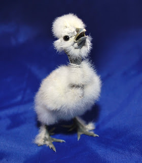 a showgirl chick that hatched in the incubator