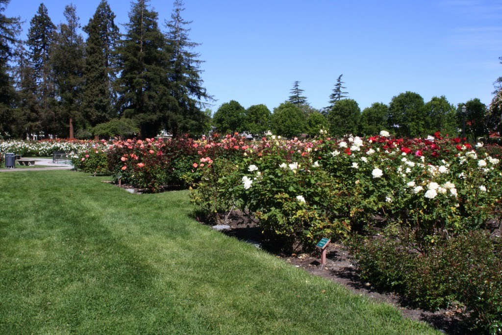 Roses In Garden: My Photo Journal: San Jose Municipal Rose Garden