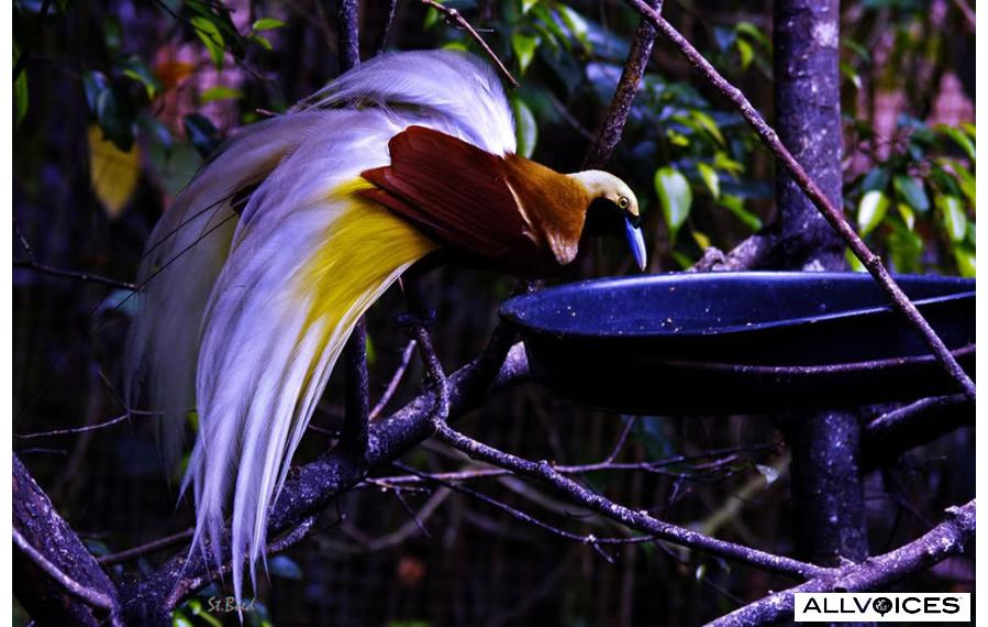 Bird of paradise ~ Geoweek's