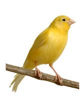 Warna kenari lokal yang mahal, nama warna kenari, jenis kenari af, jenis kenari loper, warna kenari isabel, jenis burung kenari,. Burung Kenari Lokal | Beternak Kenari